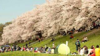 世界「桜を見に行きたい!」日本の花見は桜の木が咲き誇る美しい場所