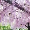 海外「こんな素敵なところ知らなかった!」あしかがフラワーパークは、藤のガーデンで有名!