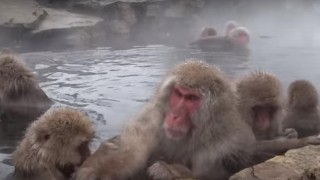 海外「冬しか見られない猿!」地獄谷野猿公苑は世界的な観光地