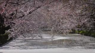 海外「散り方が半端なくとても綺麗!」桜吹雪の弘前公園は日本で有名な青森の桜の名所
