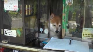 海外「志村動物園に出た犬だ!」鈴木タバコ店の看板犬は、お客さんに親切な柴犬