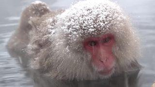 海外「サルに人気の雪見温泉」地獄谷 野猿公苑のニホンザルの姿に癒される