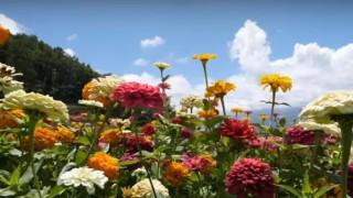 海外「カラフルな花を見るなら行くべき!」富士見高原リゾート、花の里の百日草