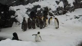 海外「はじめて雪を見た様子が可愛すぎる!」群れの中でたった一匹、ペンギン大はしゃぎ!