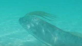 海外「泳いでいる姿は珍しい!」リュウグウノツカイを撮影したシーンがすごい!