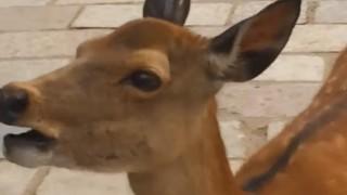 海外「鳴き声怖えぇ~w」奈良の鹿の陽気な絶叫!