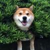 海外「垣根の隙間からぴょこっ!」柴犬可愛いすぎ!