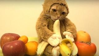 海外「2016年の干支猿になった!」猫のまるの日常