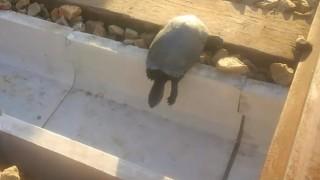 海外「線路に亀が挟まる事故回避のため!」JR西日本が線路に溝設置