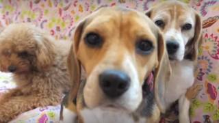 海外「お膝抱っこさせてくれるドックカフェ!」犬とのお散歩も出来る、ペットレンタルサービ付