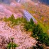 海外「なんて綺麗な光景なんだ!」吉野山の山桜に興奮!