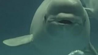 海外「口からリングを出す癒し系 」日本のシロイルカのバブリングがカワイイ!