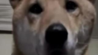海外「可愛くて賢過ぎ!」柴犬の鳴き芸に爆笑!