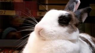 海外「日本に旅行して行きたい!」ウサギカフェって最高だと世界でも話題に!