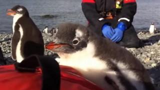 海外「どんくさいけど、くすっと笑える!」トップ 10 おかしいペンギン動画 2015