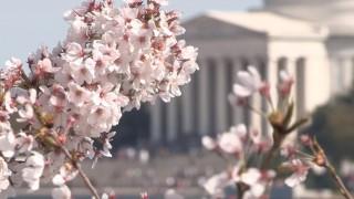 海外「信じられないほど素晴らしい!」全米桜祭りはアメリカでも愛されるお祭りに!