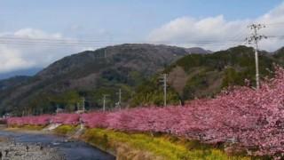 海外「日本文化 花見に憧れ!」伊豆の河津桜まつりのサクラが素敵!