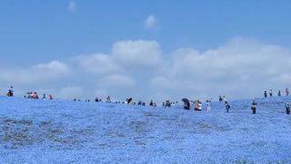 海外「一面、青色の世界!」国営ひたち海浜公園を絶賛