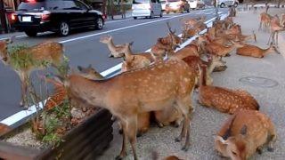 海外「県民の愛!」道路を占拠して涼む鹿におもてなし