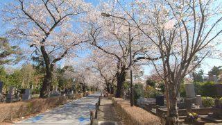 海外「隠れた桜の名所!」青山霊園の桜は美しい
