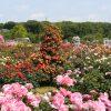 海外「なんて美しいんだ!」京成バラ園は癒される空間