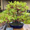 海外「鉢植えの木にも宿る日本の精神」日本盆栽ツリーアドベンチャーの魅力とは
