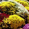 海外「日本最古の菊まつり」笠間市 笠間稲荷神社に咲く菊を茨城で見てきた