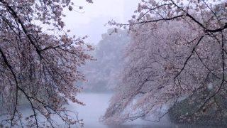 海外「東京2020年 約10年ぶり」千鳥ヶ淵の雪の満開桜を見てみよう