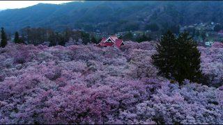 海外「長野 桜1500本の絶景」天下第一の桜 〜高遠城址公園を上空から見てみた